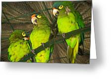 New Moon Conures Greeting Card