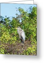 New Nest For Great Blue Heron Greeting Card