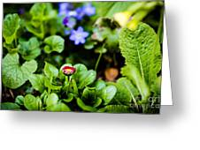 New Season For Bellis Perennis Bellissima Red Greeting Card