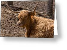 New Zealand Cow Greeting Card