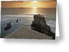 new zealand gannet colony at muriwai beach ,gannet fly from Muri Greeting Card