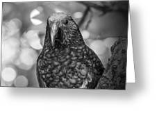 New Zealand Kaka Greeting Card