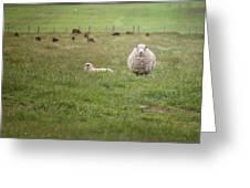 New Zealand Sheep Greeting Card