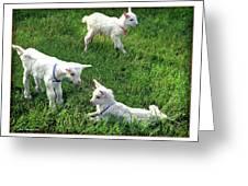 Newborn Goats Greeting Card