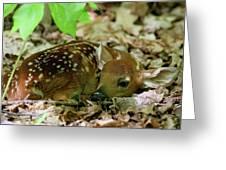 Newborn White-tailed Deer Fawn Greeting Card