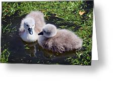 Newly Hatched Cygnets At Abbotsbury Greeting Card