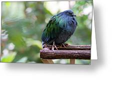 Nicobar Pigeon Greeting Card