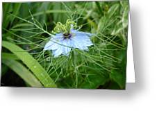 Nigella In Spring Rain Greeting Card