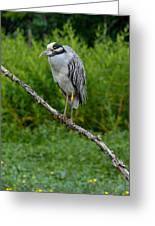 Night Heron On Slim Branch Greeting Card