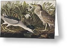Night Heron Or Qua Bird Greeting Card