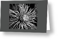 Niobe Clematis Study In Black And White Greeting Card