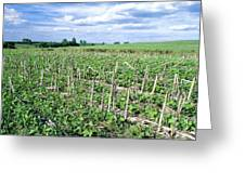 No-till Soybean Field Greeting Card