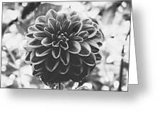 Noir Dahlia  Greeting Card