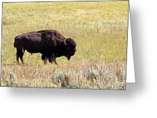 North American Bison- Buffalo In Field  Greeting Card