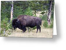 North American Buffalo Grazing Near Edge Of Woods During Late Su Greeting Card