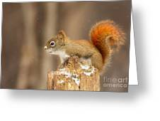 North American Red Squirrel In Winter Greeting Card
