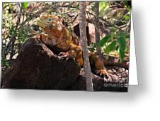 North Seymour Island Iguana In The Galapagos Islands Greeting Card