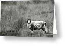 North Yorkshire Moors Sheep Greeting Card
