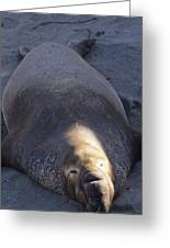 Northern Elephant Seal Greeting Card
