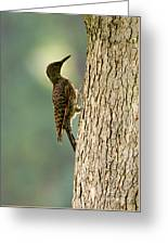 Northern Flicker Halo Greeting Card