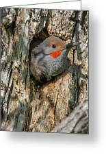 Northern Flicker Pokes His Head Out Greeting Card