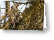 Northern Flicker Woodpecker 1 Greeting Card
