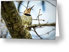 Northern Flicker - Woodpecker Greeting Card