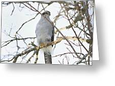 Northern Goshawk Greeting Card