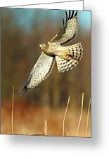 Northern Harrier Banking Greeting Card