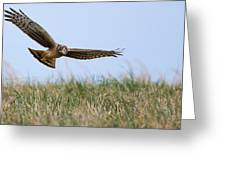 Northern Harrier Hawk Scouring The Field Greeting Card