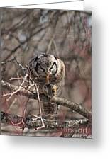 Northern Hawk Owl Having Lunch 9416 Greeting Card