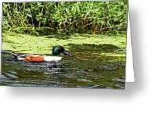 Northern Shoveler Drake Greeting Card