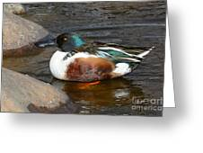 Northern Shoveler Duck Drake Greeting Card