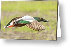 Northern Shoveler On The Wing Greeting Card