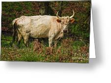 Northumberland Wild Cattle Greeting Card