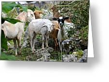 Nosy Sheep Greeting Card