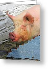 Not A Piglet Anymore Greeting Card