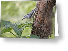 Nuthatch On The Move Greeting Card