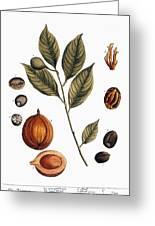 Nutmeg, 1735 Greeting Card