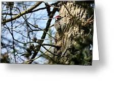 Nuttalls Woodpecker  Greeting Card