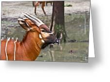Nyala At The Watering Hole Greeting Card