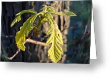 Oak Leaves In May Dawn Light Greeting Card