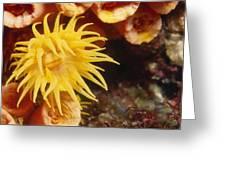 Oange Cup Coral, Tubastraea Coccinea Greeting Card