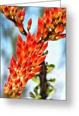 Octillo Flower. Greeting Card
