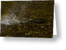 Of Fishes And Rainbows - Wild Salmon Run In The Creek Greeting Card