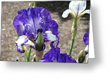 Office Art Prints Irises Flowers 46 Iris Flower Giclee Prints Baslee Troutman Greeting Card