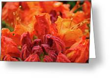 Office Art Prints Orange Azaleas Flowers 9 Giclee Prints Baslee Troutman Greeting Card