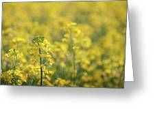 Oilseed Rape Greeting Card
