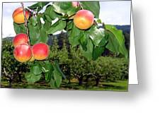 Okanagan Apricots Greeting Card