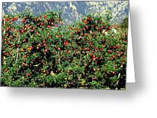 Okanagan Valley Apples Greeting Card